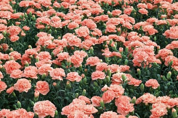 Особенности выращивания гвоздики садовой